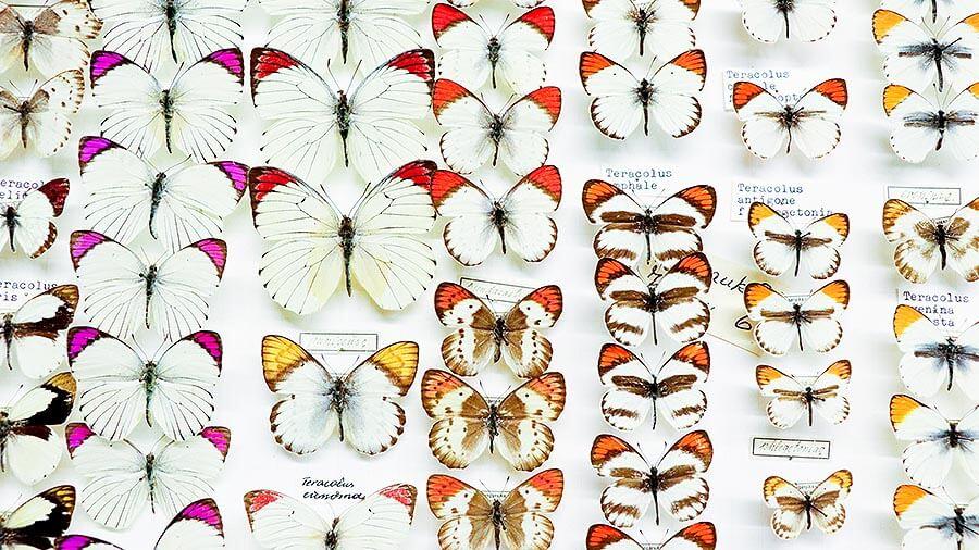 Schmetterlingssammlung Museum am Schölerberg